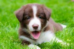 Gelukkig rood border collie-puppy Royalty-vrije Stock Afbeelding