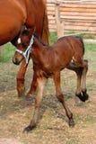 Gelukkig veulen (naast zijn moeder) Stock Foto