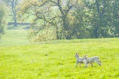 Gelukkig weinig leuke nieuw - geboren lammeren die over de lentegebied lopen Se royalty-vrije stock foto's