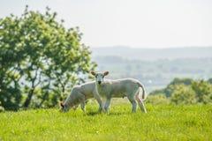 Gelukkig weinig leuke nieuw - geboren lammeren die vers gras van op SP eten stock foto