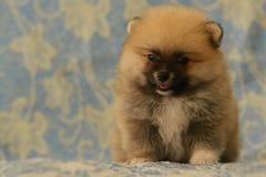 Gelukkig zit weinig Pomeranian-puppy op blauwe bank Stock Afbeelding