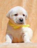 Gelukkige aardige gele van het het puppyportret van Labrador dichte omhooggaand Royalty-vrije Stock Foto's