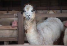 Gelukkige Alpaca Stock Fotografie