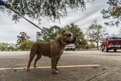 Gelukkige Amerikaan intimideert honden in de lente royalty-vrije stock foto's
