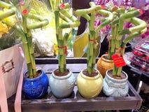 Gelukkige bambooin†potten ‹ royalty-vrije stock afbeelding
