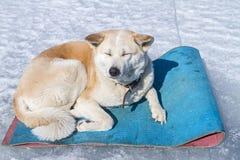Gelukkige bevroren Japanse Akita Inu in de stijging op de deken op ijs van meer Baikal royalty-vrije stock fotografie