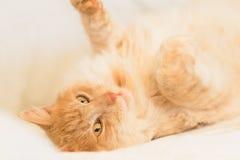 Gelukkige binnenlandse kat stock afbeelding