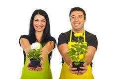 Gelukkige bloemisten die chrysantenpotten geven Royalty-vrije Stock Foto