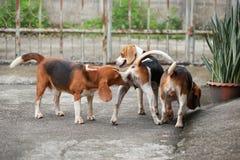 Gelukkige brakhonden die met vrienden spelen Stock Foto's