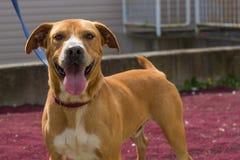 Gelukkige bruine en witte hond op rood tapijt royalty-vrije stock afbeeldingen