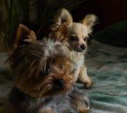 Gelukkige Chihuahua honds, vrolijk, binnenlands, geluk, het ontschorsen, carnivoor, besnoeiing, gelukkig royalty-vrije stock afbeelding