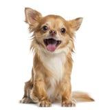 Gelukkige Chihuahua (4 jaar oud) royalty-vrije stock afbeelding