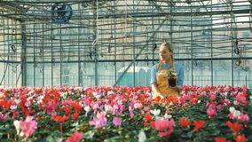 Gelukkige de cyclaambloemen van tuinmanwateren, die in een serre groeien stock video