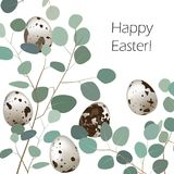 Gelukkige de groetkaart van Pasen of van de lente Kwartelseieren en bladtwijgen van eucalyptusachtergrond Royalty-vrije Stock Foto