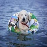 Gelukkige en gekoelde uit hond die in een overzees zwemmen royalty-vrije stock afbeelding