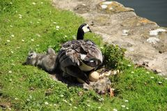 Gelukkige familie, Eendenmosselganzen langs de vijver in Engeland in de zomer Royalty-vrije Stock Afbeeldingen