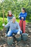 Gelukkige familie het oogsten aardappels Stock Foto