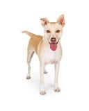 Gelukkige Gele Familiehond op Wit Stock Foto