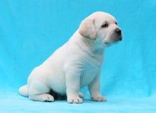 Gelukkige gele van het het puppyportret van Labrador dichte omhooggaand Stock Foto