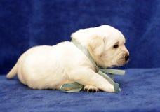 Gelukkige gele van het het puppyportret van Labrador dichte omhooggaand Stock Afbeeldingen