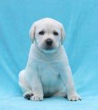 Gelukkige gele van het het puppyportret van Labrador dichte omhooggaand Stock Foto's