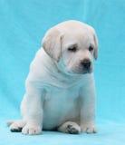 Gelukkige gele van het het puppyportret van Labrador dichte omhooggaand Stock Afbeelding