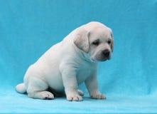 Gelukkige gele van het het puppyportret van Labrador dichte omhooggaand Royalty-vrije Stock Fotografie