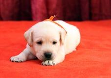 Gelukkige gele van het het puppyportret van Labrador dichte omhooggaand op rood Royalty-vrije Stock Foto's