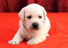 Gelukkige gele van het het puppyportret van Labrador dichte omhooggaand op rood Stock Foto