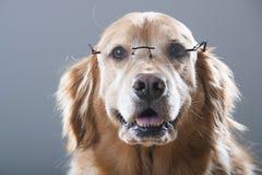Gelukkige Golden retrieverhond die en lezingsglazen glimlachen dragen Stock Afbeeldingen