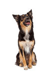 Gelukkige Grens Collie Crossbreed Looking Up Stock Foto