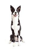 Gelukkige Grens Collie Mix Breed Dog Sitting Stock Foto
