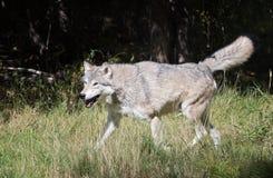 Gelukkige grijze wolf Stock Afbeeldingen
