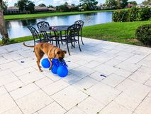 gelukkige grote hondspelen met een ballon Stock Foto's