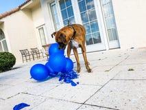 gelukkige grote hondspelen met een ballon Stock Afbeeldingen