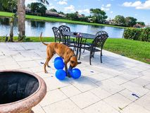 gelukkige grote hondspelen met een ballon Stock Afbeelding