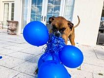 gelukkige grote hondspelen met een ballon Royalty-vrije Stock Afbeelding