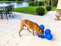 gelukkige grote hondspelen met een ballon Stock Fotografie