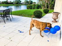 gelukkige grote hondspelen met een ballon Royalty-vrije Stock Foto's
