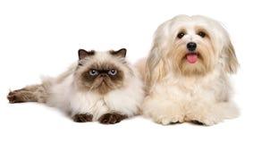 Gelukkige havanese hond en een jonge Perzische kat die samen liggen Stock Foto's