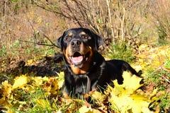 Gelukkige Hond Royalty-vrije Stock Foto