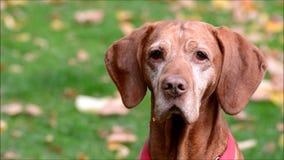 Gelukkige hond in Berlin Charlottenburg op 16 September, 2016, Duitsland stock video