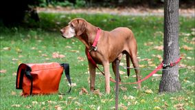 Gelukkige hond in Berlin Charlottenburg op 16 September, 2016, Duitsland stock footage