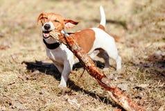 Gelukkige hond die grote houten stok buiten kauwen Stock Afbeeldingen