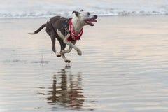 Gelukkige hond die in het zand en de branding lopen royalty-vrije stock foto