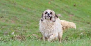 Gelukkige hond die in openlucht op een zonnige de zomerdag door groen gras lopen Stock Afbeelding