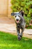 Gelukkige Hond die in Werf lopen Stock Foto's