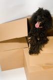 Gelukkige hond in doos Stock Afbeelding