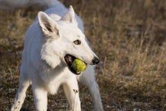 Gelukkige hond met bal stock afbeelding