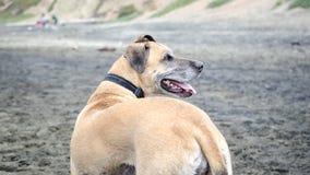 Gelukkige hond op strand Stock Afbeelding